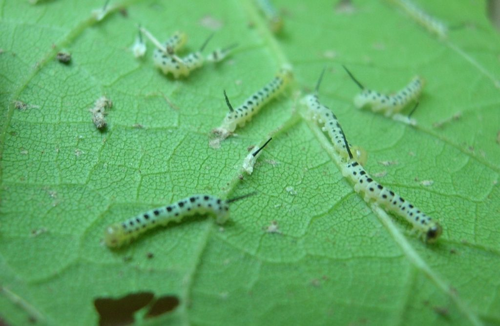 catalpa worms on the leaf